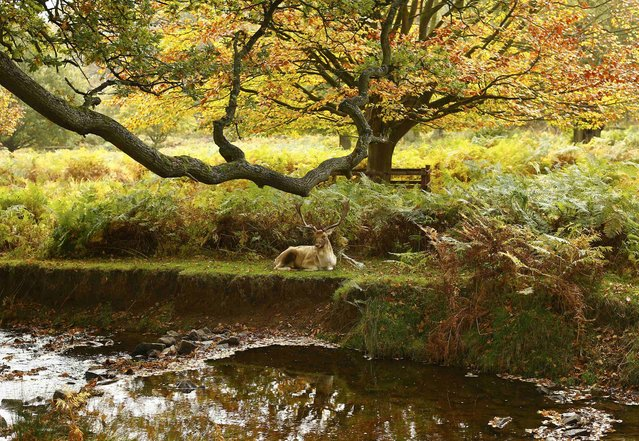 A deer rests by a river in Bradgate Park in Newtown Linford, central England, October 27, 2015. (Photo by Darren Staples/Reuters)