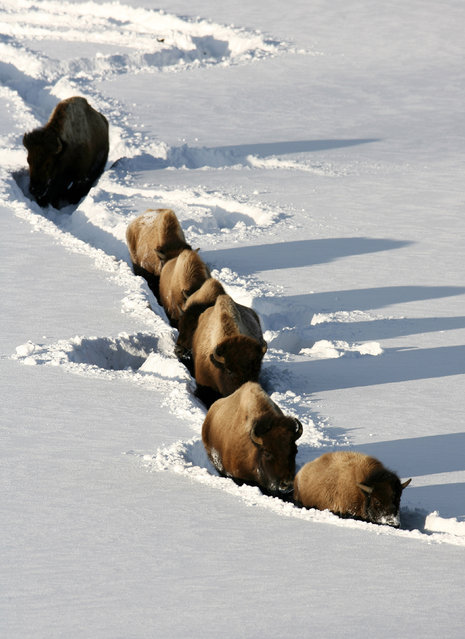 Bison walking through deep snow near Tower Jct. in Yellowstone National Park in Wyoming. (Photo by U.S. Department of the Interior/Cater News)