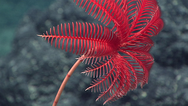 This April 29, 2016 image made available by NOAA shows the feeding arms of a stalked crinoid animal during a deepwater exploration of the Marianas Trench Marine National Monument area in the Pacific Ocean near Guam and Saipan. (Photo by NOAA Office of Ocean Exploration and Research via AP Photo)