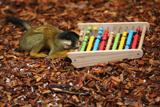 Bolivian Squirrel Monkeys play with an abacus during the ZSL London Zoo's annual stocktake of animals on January 5, 2015 in London, England. The zoo's annual stocktake requires keepers to check on the numbers of every one of the 800 different animal species, including every invertebrate, bird, fish, mammal, reptile, and amphibian. (Photo by Dan Kitwood/Getty Images)
