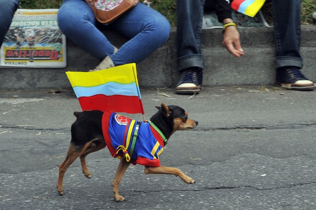 A dog wearing a Colombian national football team jersey with a Colombian national flag parades during the celebrations of the 203rd Anniversary of the Independence of Colombia, in Bogota, Colombia, on July 21, 2013. (Photo by Guillermo Legaria/AFP Photo)
