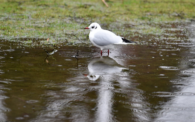 A seagull is mirrored in a puddle on a meadow in  Bad Zwischenahn, northern Germany, Sunday January 18, 2015. Weather forecasts predict changeable weather for Germany. (Photo by Carmen Jaspersen/AP Photo/DPA)