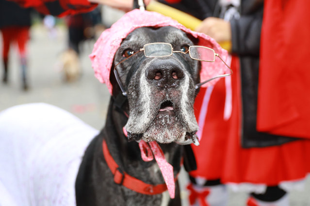 A Great Dane named Apollo is ready for the 28th Annual Tompkins Square Halloween Dog Parade at East River Park Amphitheater in New York on October 28, 2018. (Photo by Gordon Donovan/Yahoo News)