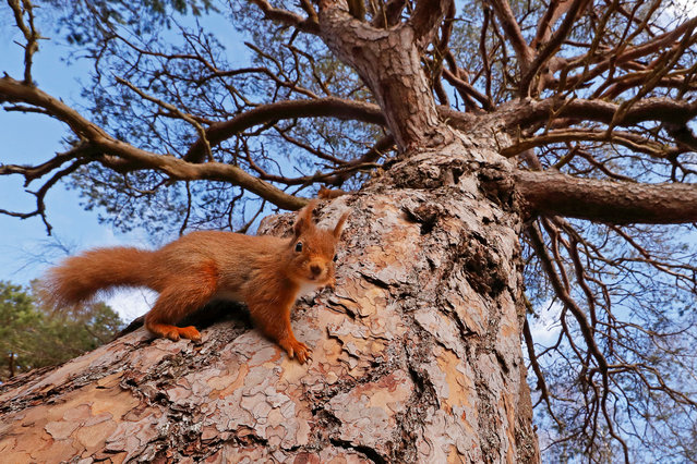 British seasons winner: Seasonal Scottish Red Squirrels, image 2. (Photo by Neil Mcintyre/British Wildlife Photography Awards)