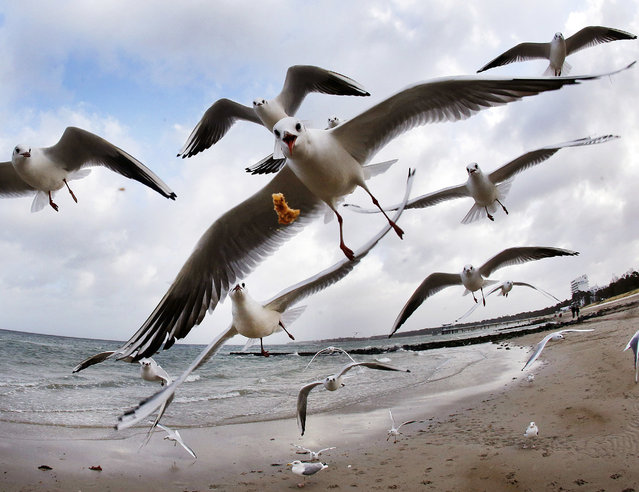 Sea gulls fly at the beach of the Baltic Sea in Timmendorfer Strand, Germany, Tuesday, December 27, 2016. (Photo by Michael Probst/AP Photo)