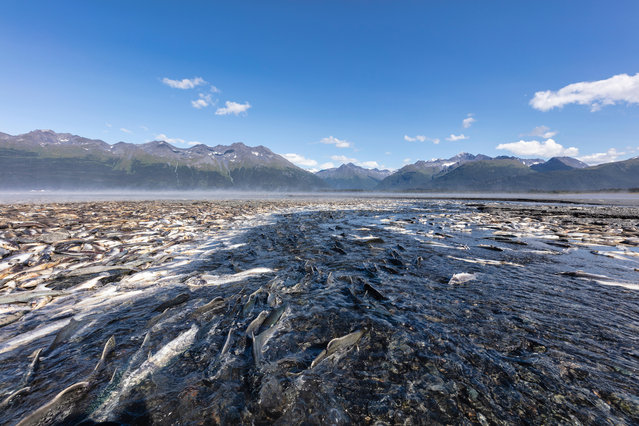 Spawning silver and pink salmon stranded by low tide lie rotting along a creek in Valdez in south-central Alaska. (Photo by Ray Bulson/Alamy Stock Photo)