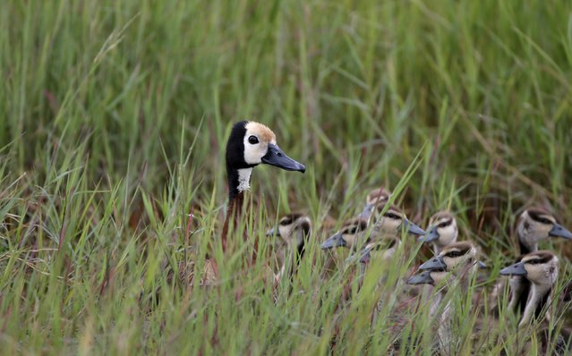 A White-faced Whistling-Duck hides her ducklings in grass  in Amboseli National park, Kenya, February 11, 2016. (Photo by Goran Tomasevic/Reuters)