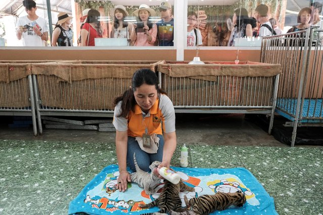 A zoo worker feeds milk to tiger cubs born on the first day of the Lunar New Year and Year of the Rooster at Sriracha Tiger Zoo in Chonburi province, Thailand, January 30, 2017. (Photo by Athit Perawongmetha/Reuters)