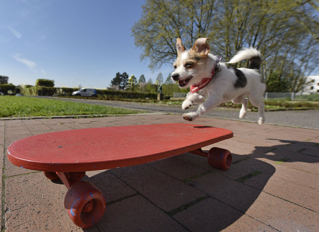 Film dog Jo Jo jumps on a skateboard at a presentation for the dog and cat show in Dortmund, Germany, Tuesday, April 28, 2015. (Photo by Martin Meissner/AP Photo)