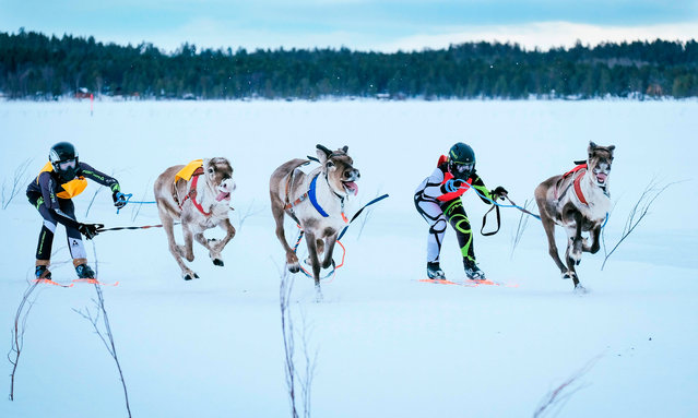 Two reindeers and their jockeys chase along an animal that runs loose as they approach the finish line on the 1 km ice track of the final in the BRP Poro cup reindeer race on a lake in Inari, northern Finland on March 31, 2019. The competition is a six-stage championship run in the north of Finland during the winter months since 1950. Competitors race on skis pulled by a reindeer on a 1000 meter u-shaped track on the snow. (Photo by Alessandro Rampazzo/AFP Photo)
