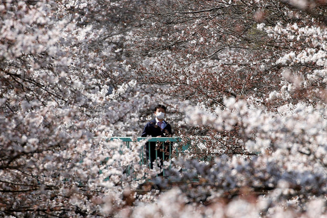 A man looks at cherry blossoms in almost full bloom in Tokyo, Japan, March 27, 2019. (Photo by Issei Kato/Reuters)