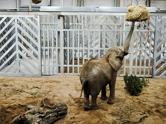 Buta the female African elephant, the latest addition to 'Elephant Eden' at Noah's Ark Zoo Farm, in Bristol, as she gets used to her new surroundings in the largest purpose-built elephant habitat in Northern Europe. (Photo by Ben Birchall/PA Wire)