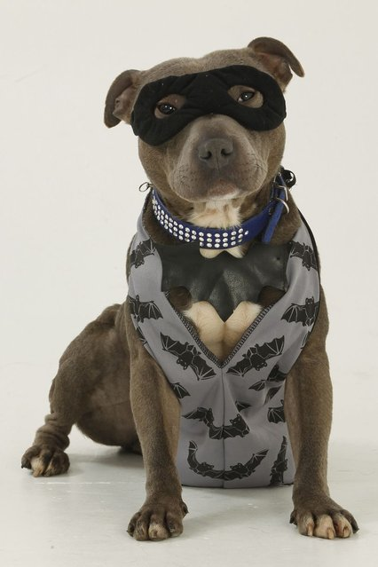 Bailey the Staffordshire bull terrier dressed as Batman. (Photo by Helen Yates/Barcroft Media)