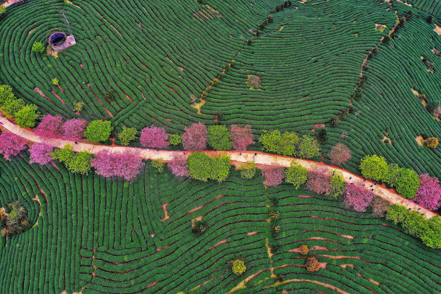 This photo taken on February 26, 2019 shows an aerial view of a tea field in Zhangping in China's eastern Fujian province. (Photo by AFP Photo/China Stringer Network)
