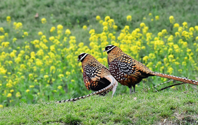 Two Reeves's pheasants look for food on a mountain slope in Guangshui, central China. (Photo by Mei Yongcun/Xinhua News Agency/Barcroft Images)