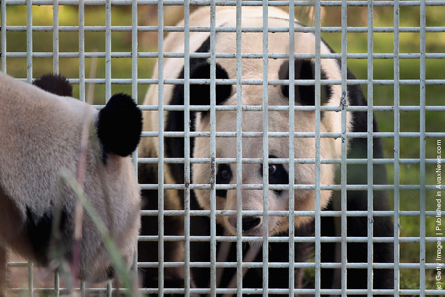 Yang Guang (L), the male panda, looks through the fence of his enclosure at Tian Tian as they make their first appearance in from of the media since arriving from China