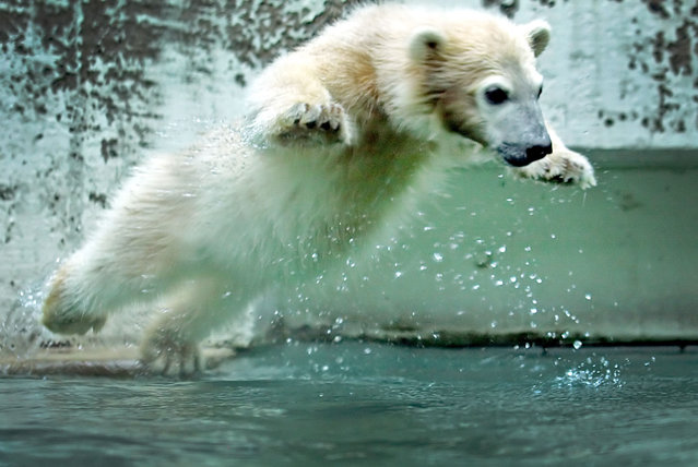 Baby polar bear Anori jumps in the pool of its enclosure at the zoo in Wuppertal, western Germany, on June 6, 2012. Anori was born on January 4, 2012 and has the same father as world famous polar bear Knut, who died in 2011. (Photo by Claudia Otte/AFP Photo)
