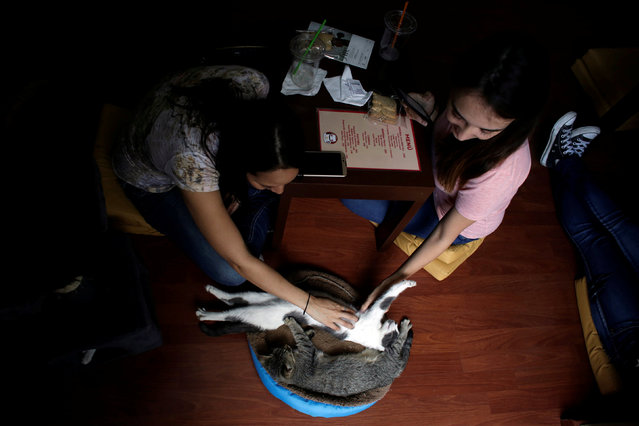 """Customers pet a cat inside """"Meow"""" cafe, where diners can play, interact or adopt cats given away by their former owners or rescued from the streets, in Monterrey, Mexico, May 14, 2016. (Photo by Daniel Becerril/Reuters)"""