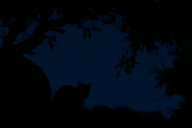 """Overall winner: The Ghost – Eduardo Blanco Mendizabal (Spain). """"Early this year I visited the nature park of Sierra de Andújar in Andalusia to look for the most endangered species of wild cats in Europe, the Iberian lynx ( Lynx pardinus). One evening I discovered a lynx right beside the road. The animal hardly took any notice but proceeded to groom itself quietly. Even the headlights of my car did not bother it. I took many photographs, but only in this one shot the lynx's eyes light up ghostlike"""". (Photo by Eduardo Blanco Mendizabal/2019 GDT European Wildlife Photographer of the Year)"""