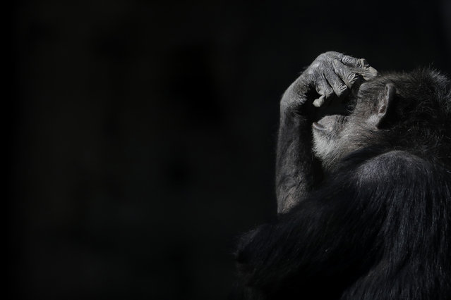 "In this May 16, 2017 photo, a chimpanzee shades his eyes with his hand while sitting in his enclosure at the former city zoo now known as Eco Parque, in Buenos Aires, Argentina. ""It's gone from bad to worse"", said Claudio Bertonatti, a former Buenos Aires zoo director. ""Everything is set for Noah's Arc to be shipwrecked"". (Photo by Natacha Pisarenko/AP Photo)"