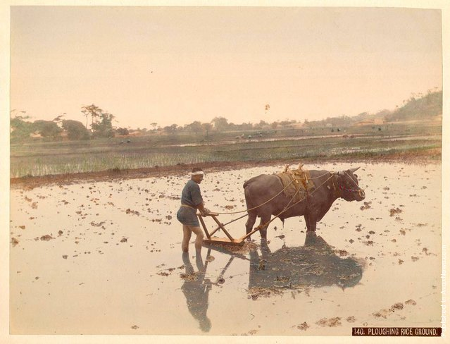 Ploughing Rice Ground