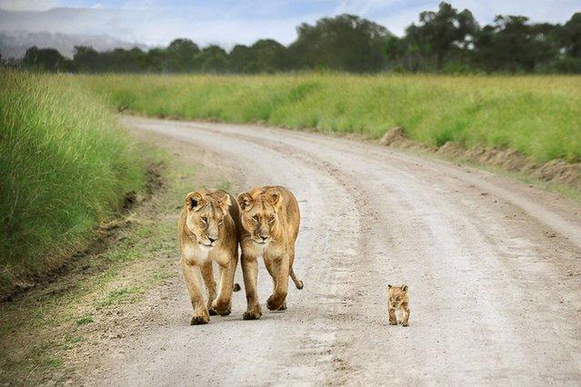 Lionesses and cub, Masai Mara, Kenya. (Photo by David Lazar)