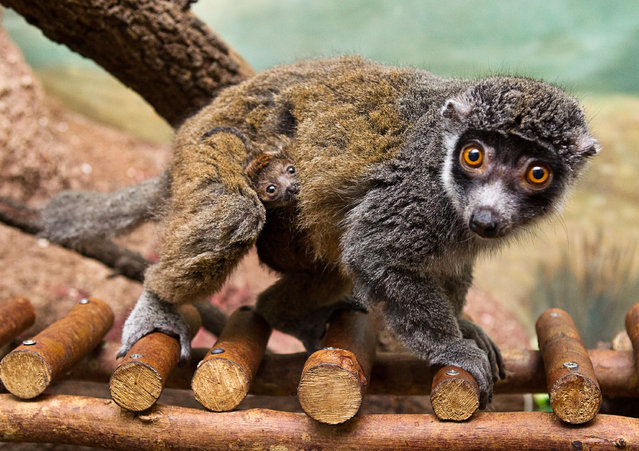 An infant mongoose lemur is shown nestled in the fur of its mother at Busch Gardens in Tampa on April 25, 2012
