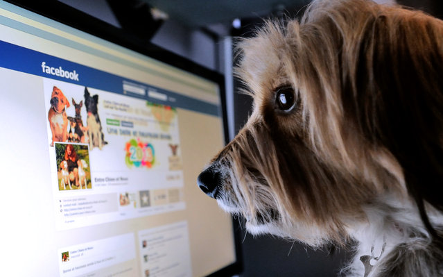 A dog stands in front of a computer screen with a facebook page opened on it, on January 4, 2013 in Lille, Northern France. (Photo by Denis Charlet/AFP Photo)