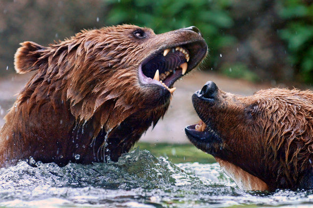 brown bears playing