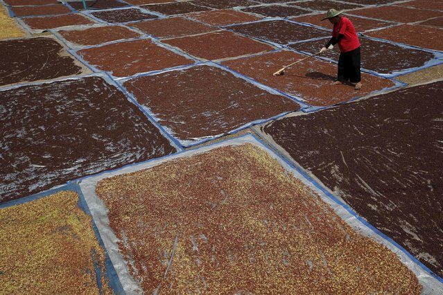 A farmer uses a rake to dry cloves, commonly used in locally manufactured cigarettes, near Purwakarta, West Java, Indonesia, August 25, 2015. (Photo by Darren Whiteside/Reuters)