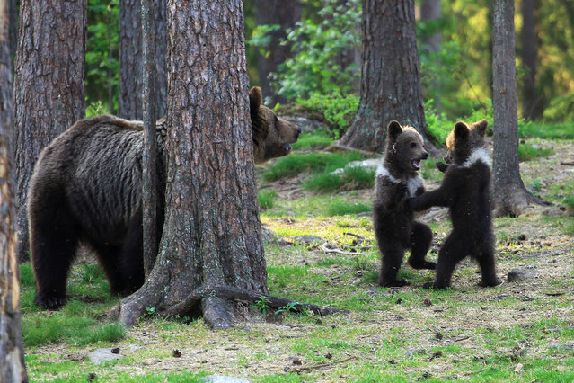 A family of baby brown bears appear to be dancing to Ring a Ring o' Roses as their mother relaxes behind a tree nearby. At just a few months old, two young males and one female gather in a circle, clutch each others' hands and begin to dance to the popular nursery rhyme. It's almost like a scene from a school playground as the bears joyfully play together, tapping their feet and moving around in a circle.  (Photo by Valtteri Mulkahainen/Solent News & Photo Agency)