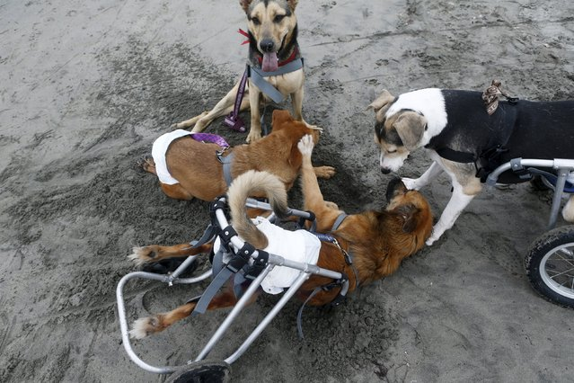 Paraplegic dogs play at Pescadores beach in Chorrillos, Lima, September 7, 2015. (Photo by Mariana Bazo/Reuters)