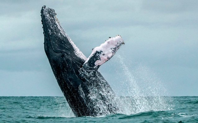 This file photo taken on August 12, 2018 shows a Humpback whale jumping in the surface of the Pacific Ocean at the Uramba Bahia Malaga National Natural Park in Colombia. (Photo by Miguel Medina/AFP Photo)