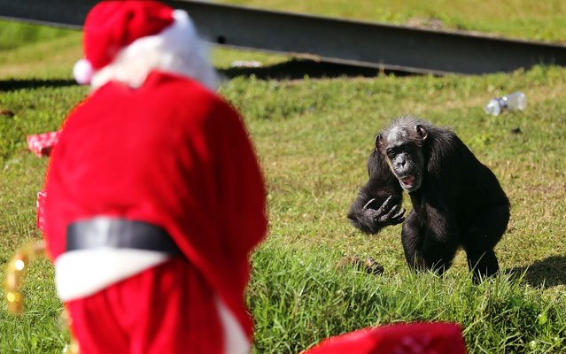 A chimp motions for Santa to deliver his gift during Lion Country Safari's annual Christmas with the Chimps on Thursday, December 20, 2012. (Bruce R. Bennett/The Palm Beach Post)