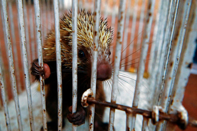 A wounded crested porcupine (Hystrix cristata) remains at the veterinary clinic of the Ministry of the Environment, waiting to be healed and then released, in San Salvador, on September 11, 2020. Many species, found by people or seized by the Environmental Police, are taken to the clinic where the team of vets is responsible for their recovery to then reintegrate them into their respective habitats. (Photo by Marvin Recinos/AFP Photo)