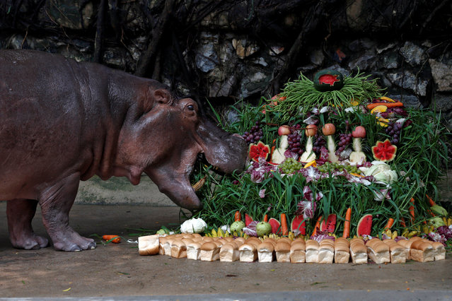 "A female hippopotamus named ""Mali"", which means Jasmine, eats fruits arranged to look like a cake during her 50th birthday celebration at Dusit Zoo in Bangkok, Thailand September 23, 2016. (Photo by Chaiwat Subprasom/Reuters)"