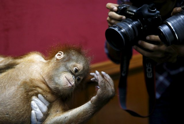 A baby orangutan is photographed at a news conference in Kuala Lumpur, Malaysia, October 19, 2015. (Photo by Olivia Harris/Reuters)