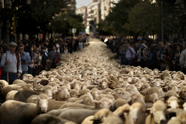 Shepherds lead their sheep through the centre of Madrid, Spain, Sunday, October 25, 2015. Shepherds have guided a flock of 2,000 sheep through Madrid streets in defense of ancient grazing, droving and migration rights increasingly threatened by urban sprawl and modern agricultural practices. Photo by Daniel Ochoa de Olza/AP Photo)