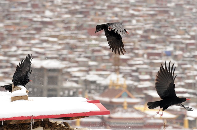 This photo taken on April 5, 2013 shows blackbirds flying over the thousands of small houses where Buddhist nuns and monks live, after heavy overnight snowfall at Seda Monastery, the largest Tibetan Buddhist school in the world, with up to 40,000 monks and nuns in residence for some parts of the year. Seda, known to Tibetans as Serthar is located in Ganzi prefecture in the west of China's Sichuan province and has become a hotbed of protests and violence since the Tibetan uprisings of March 2008. (Photo by Peter Parks/AFP Photo)