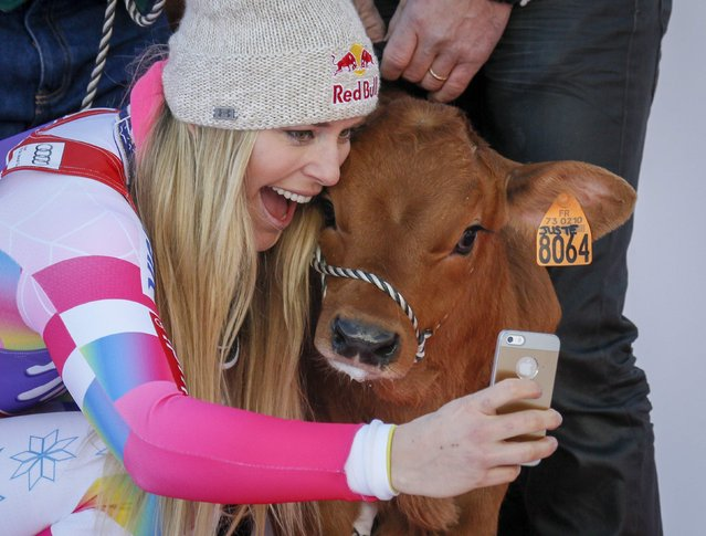 """Lindsey Vonn of the U.S. takes a """"selfie"""" with a cow she won as a prize after finishing first in the women's World Cup Downhill skiing race in Val d'Isere, French Alps, December 20, 2014. (Photo by Robert Pratta/Reuters)"""