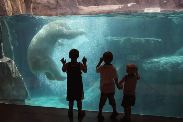 Hudson, a polar bear, cools down by playing with a block of ice during a swim in his enclosure at Brookfield Zoo in Brookfield, Illinois, on July 21, 2013. (Photo by Scott Olson/Getty Images)