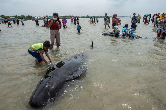 People try to save short-finned pilot whales beached in Bangkalan, Madura island on February 19, 2021, as some 49 pilot whales have died after a mass stranding on the coast of Indonesia's main island of Java that sparked a major rescue operation. (Photo by Juni Kriswanto/AFP Photo)