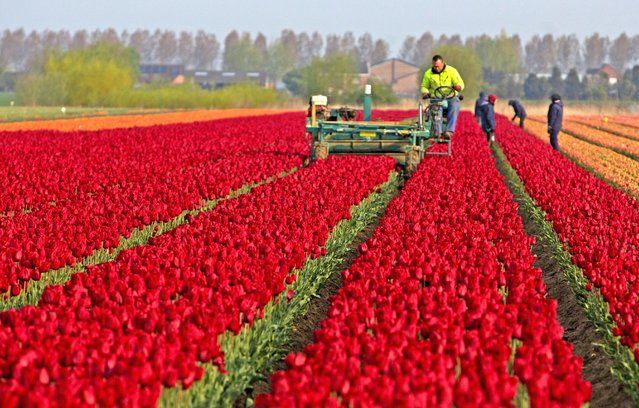 Farmers work in a tulip field in Meerdonk, Belgium on Monday, May 3, 2021. Most tulips in the region are grown specifically for the bulbs and not the flowers, however the flowers remain in the fields until fully blossomed before being cut down. (Photo by Virginia Mayo/AP Photo)