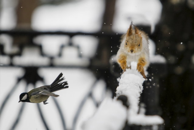 A tomtit bird flies past a squirrel running on a fence after a snowfall in a park in Almaty, Kazakhstan, January 12, 2016. (Photo by Shamil Zhumatov/Reuters)
