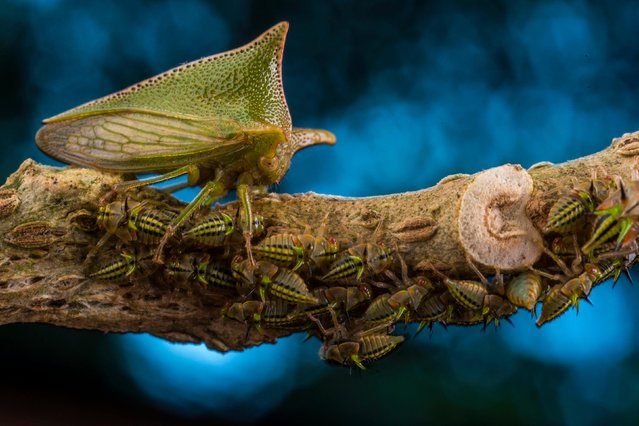 Mother defender by Javier Aznar González de Rueda, Spain — winner, wildlife photographer portfolio award (from a portfolio of six images). A large Alchisme treehopper guards her family as the nymphs feed on the stem of a nightshade plant in El Jardín de los Sueños reserve in Ecuador. Unlike many treehoppers, which enlist the help of other insects (mostly ants), this species is guarded by the mother alone. She lays her eggs on the underside of a nightshade leaf, covers them with a thin secretion and then shields the clutch with her tiny frame. (Photo by  Javier Aznar González de Rueda/2018 Wildlife Photographer of the Year)