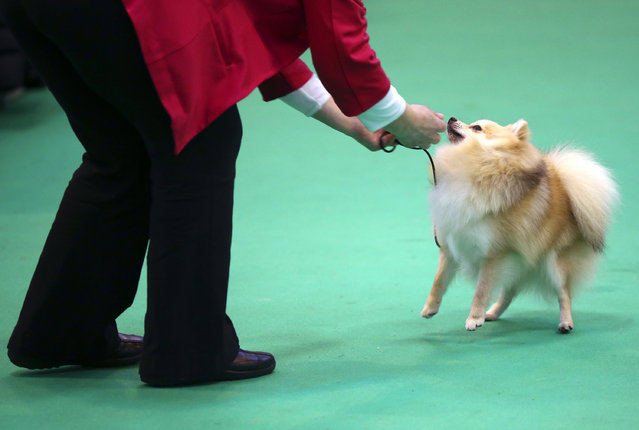 An owner picks up her German Spitz Klein in the show ring on the fourth and final day of Crufts dog show at the National Exhibition Centre on March 8, 2015 in Birmingham, England.  First held in 1891, Crufts is said to be the largest show of its kind in the world. The annual four-day event, features thousands of dogs, with competitors travelling from countries across the globe to take part and vie for the coveted title of 'Best in Show'. (Carl Court/Getty Images)