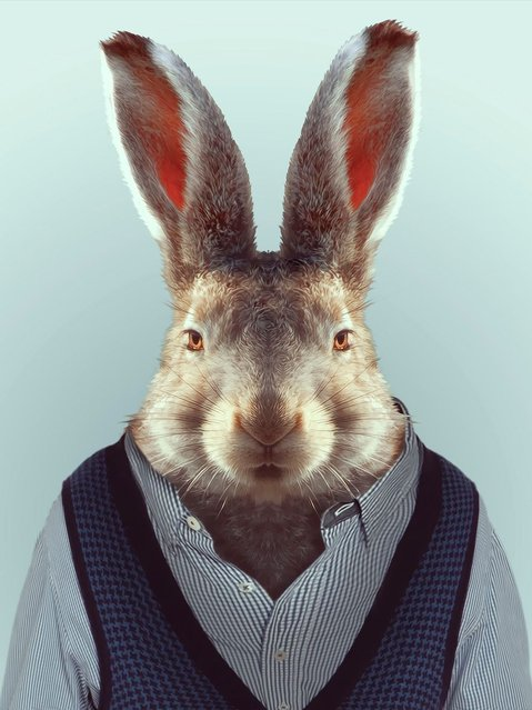 Hare wearing a v-neck jumper and shirt. (Photo by Yago Partal/Barcroft Media)