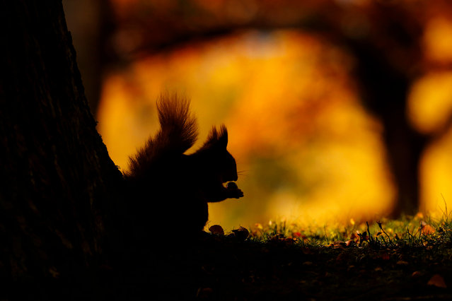 British seasons winner: Seasonal Scottish Red Squirrels, image 3. (Photo by Neil Mcintyre/British Wildlife Photography Awards)