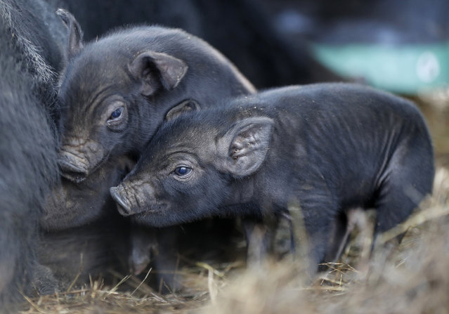 In this Thursday, December 8, 2016, three-day-old mulefoot piglets nuzzle their mother at Dogpatch Farm in Washington, Maine. The American mulefoot hog was once the rarest of all U.S. livestock breeds, and they're still listed as critically rare by the Livestock Conservancy. There are fewer than 500 registered, purebred, breeding mulefoots. (Photo by Robert F. Bukaty/AP Photo)