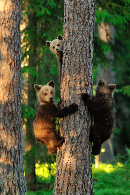 """Three little bears"". The picture is captured using special hide placed to the primeval forest in Finland. High trees offer protection to the brown bear cubs being vitally important to survive from all dangers around them. Bear cubs are threatened especially by the other male bears, who might attack and take their lives without any doubt. Thus fast climbing on tree is one of the most important skills for bear cubs in order to survive and they are always ready for it. Photo location: Finland, next to Russian border. (Photo and caption by Erik Mandre/National Geographic Photo Contest)"